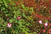Roses_in_a_cold_sunny_day_04.jpg